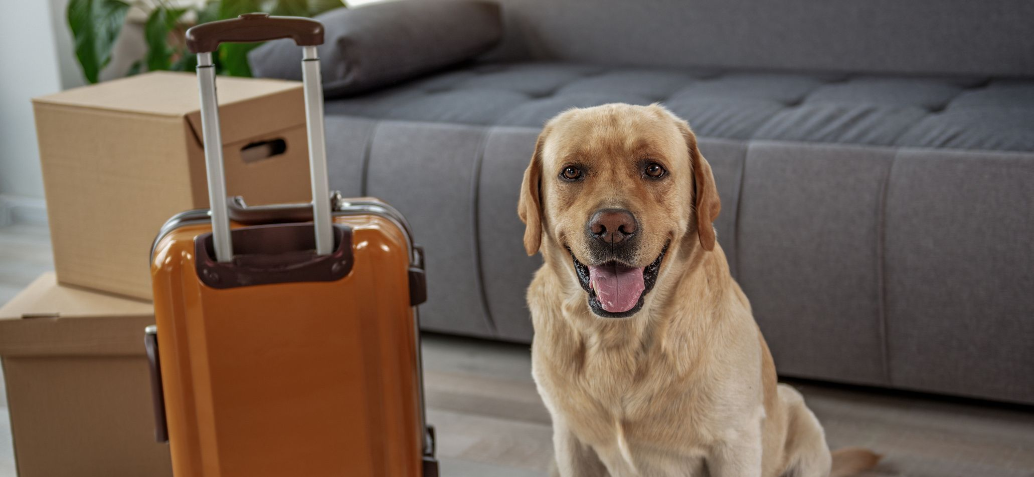 Happy young labrador situating near big luggage